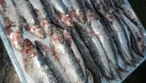 sardines fraiches avant cuisson