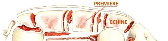 emplacement cote de porc sur le cochon